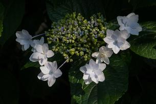 額紫陽花の写真素材 [FYI01219816]