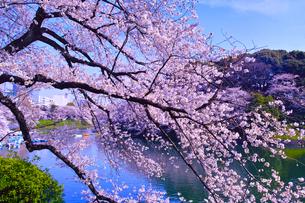 東京、千鳥ヶ淵の満開の桜の写真素材 [FYI01219820]