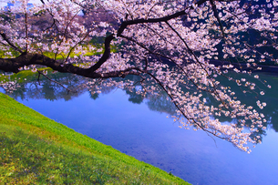 東京、千鳥ヶ淵の満開の桜の写真素材 [FYI01219821]