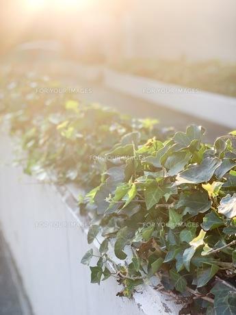 夕陽があたる植物の写真素材 [FYI01220021]