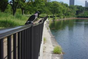 柵の上のはとの写真素材 [FYI01220329]