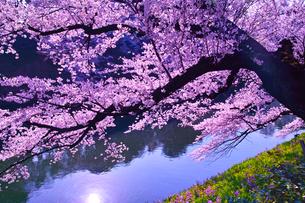 朝日に輝く千鳥ヶ淵の桜の写真素材 [FYI01220337]