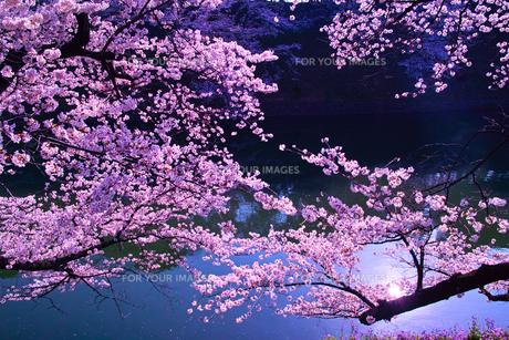 朝日に輝く千鳥ヶ淵の桜の写真素材 [FYI01220338]