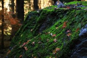 苔むす岩の写真素材 [FYI01220485]