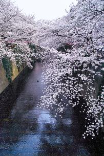 春の目黒川桜まつりの写真素材 [FYI01220573]