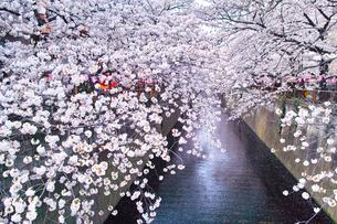 春の目黒川桜まつりの写真素材 [FYI01220574]
