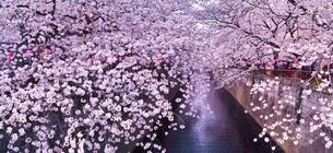 春の目黒川桜まつり(パノラマ)の写真素材 [FYI01220575]