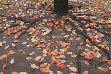 落ち葉の写真素材 [FYI01220823]