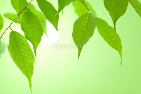 新緑の葉の写真素材 [FYI01221032]