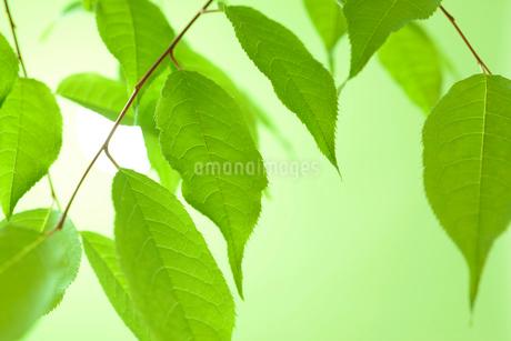 新緑の葉の写真素材 [FYI01221040]