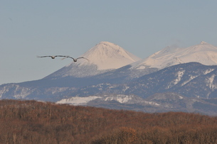 雪山に向かって飛翔する丹頂の写真素材 [FYI01221105]