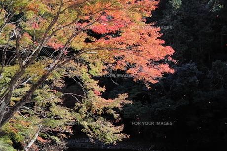 京都高雄清滝の紅葉の写真素材 [FYI01221152]