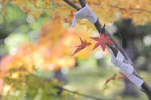 京都高雄清滝の紅葉の写真素材 [FYI01221157]