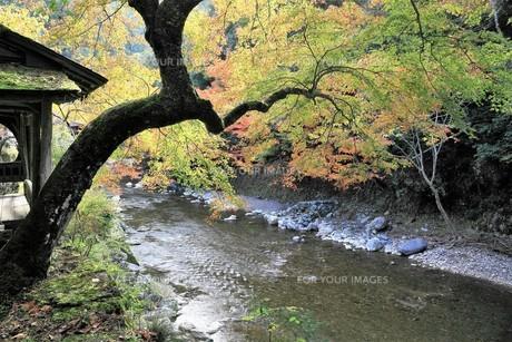 京都高雄清滝の紅葉の写真素材 [FYI01221163]