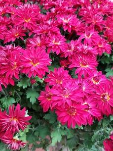 ピンクの花の写真素材 [FYI01221204]