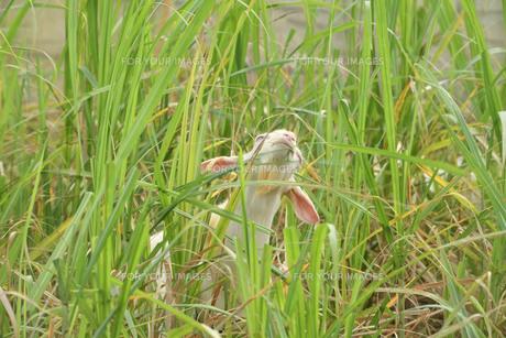 宮古島/山羊の写真素材 [FYI01221227]
