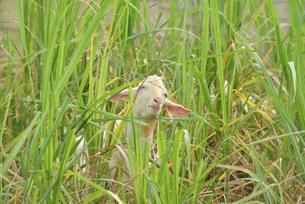 宮古島/山羊の写真素材 [FYI01221228]