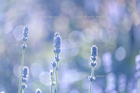 光と香るラベンダーの写真素材 [FYI01221417]