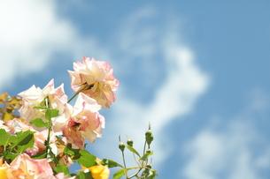 しんわの丘ローズガーデン/長野県の写真素材 [FYI01221443]