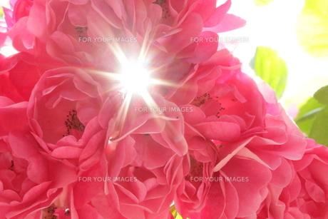 煌めく薔薇の写真素材 [FYI01221449]