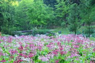 九輪草の花畑の写真素材 [FYI01221456]