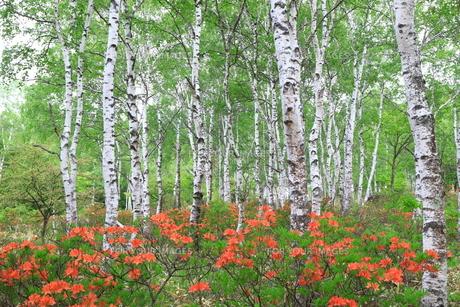 白樺とレンゲツツジの写真素材 [FYI01221481]