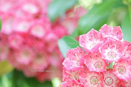 カルミアの花の写真素材 [FYI01221485]