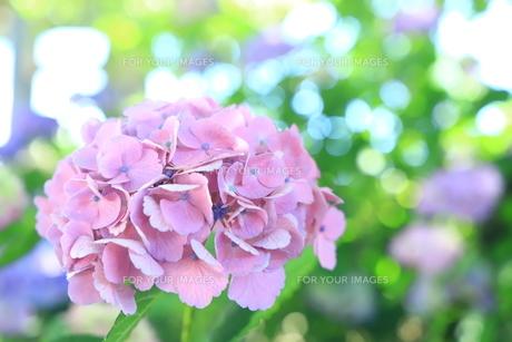 光と紫陽花の写真素材 [FYI01221487]