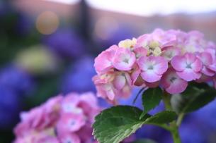 朝焼けに染まる紫陽花の写真素材 [FYI01221488]