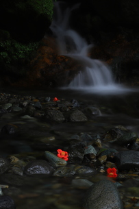 椿の花と滝の写真素材 [FYI01221493]