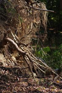 木の根の写真素材 [FYI01221512]
