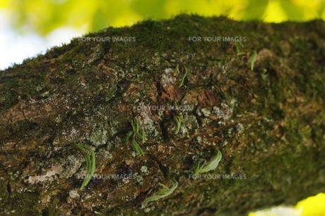 木の芽の写真素材 [FYI01221515]