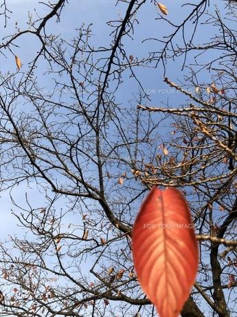 秋の桜・桜紅葉の写真素材 [FYI01221588]