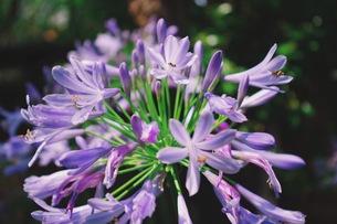 紫のアパガンサスの写真素材 [FYI01221676]