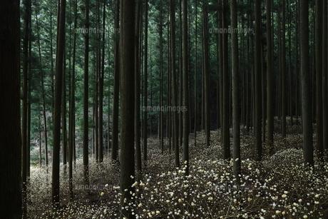 ミツマタ群生地の写真素材 [FYI01221681]