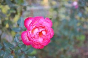日比谷公園の花壇のピンクのバラの写真素材 [FYI01221688]