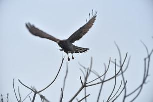 宮古島/鷹の写真素材 [FYI01221782]