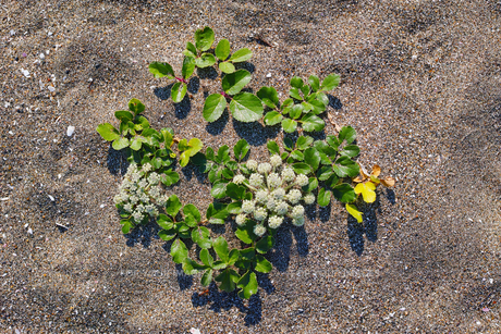 ハマボウフウの花の写真素材 [FYI01221797]