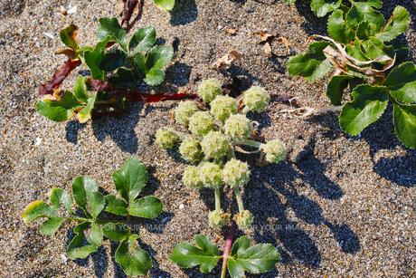 ハマボウフウの花の写真素材 [FYI01221798]