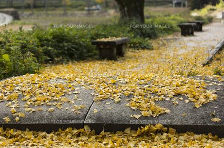 イチョウの葉とベンチの写真素材 [FYI01221844]
