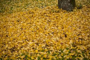 イチョウ 落ち葉の写真素材 [FYI01221850]