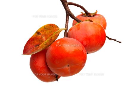 熟した柿,枝,葉の写真素材 [FYI01221982]