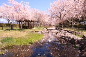 諏訪市の桜の写真素材 [FYI01222180]