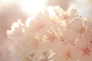光に包まれる桜の写真素材 [FYI01222182]