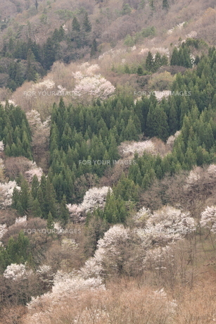 山桜の里の写真素材 [FYI01222188]