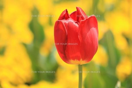 一輪の赤色チューリップの写真素材 [FYI01222192]