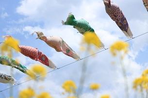 菜の花と空を泳ぐ鯉のぼりの写真素材 [FYI01222193]