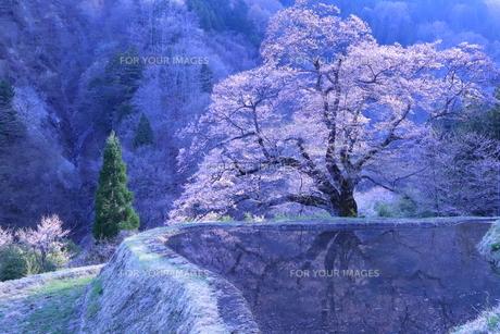 駒繋ぎの桜/阿智村の写真素材 [FYI01222199]