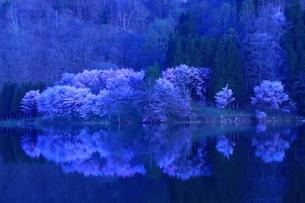 中綱湖の桜の写真素材 [FYI01222200]