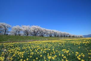 桜並木と水仙 諏訪市の写真素材 [FYI01222201]